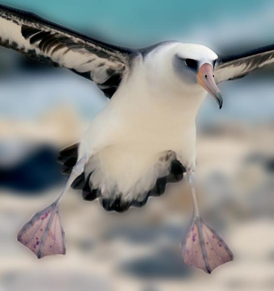 Albatross_Laysan landing TAB10MK4-11273