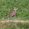 Plover_Pacific-Golden TAB10MK4-9058