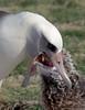 Albatross_Laysan feeding chick TAB10MK4-8303