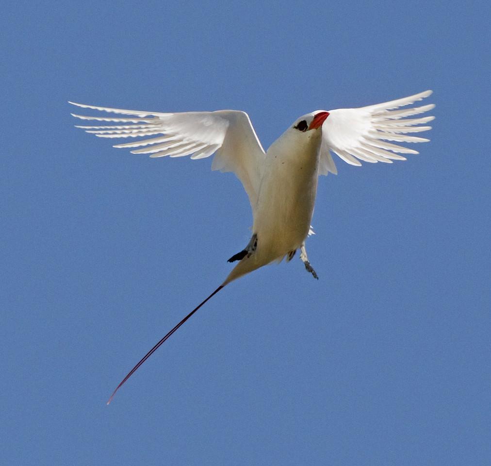 Tropicbird_Red-tailed TAB10MK4-12528