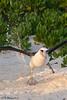 Albatross_laysan TAB10MK4-7713-Edit