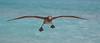 Albatross_Black-footed TAB10MK4-11242