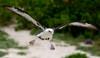 Albatross_Laysan TAB10MK4-10710