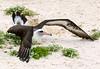 Albatross_Laysan landing TAB10MK4-10879