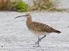 Curlew_Bristle-thighted TAB10MK4-11137