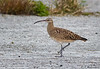 Bristle-thighted Curlew