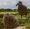 Albatross_BF chick TAB10MK4-11395