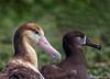 Steller's Albatross