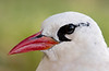 Tropicbird_Red-billed TAB10MK4-8047
