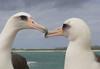 Albatross_Laysan pair TAB10MK4-11840