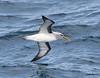 Southern Buller's Albatross