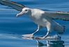 Wandering Albatross - Gibson's