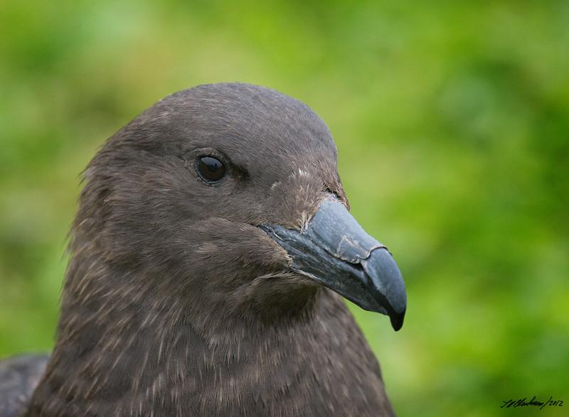Subantarctic Brown Skua
