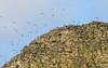 Pyramid Rock Nesting Chatham Island Albatross