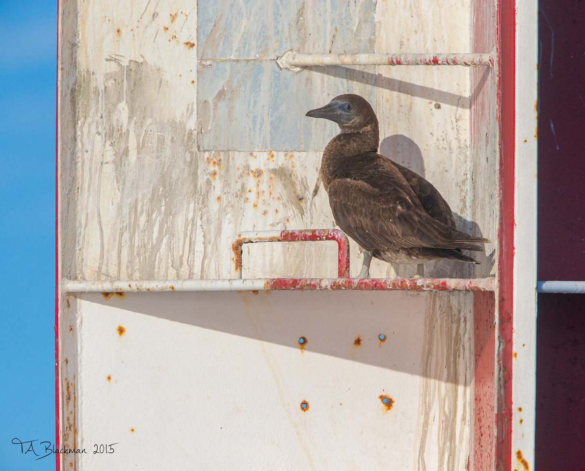 Brown Booby on Whisler