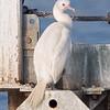 Brandt's Cormorant albino
