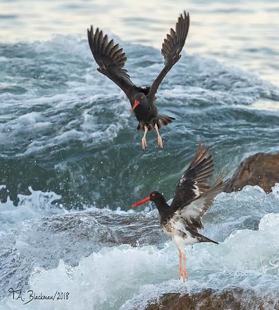 Black & Hybrid Oystercatchers