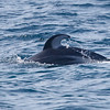Dolphin_Pacific White-sided