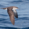 Black-vented Shearwter