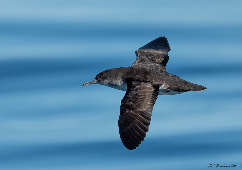 Black-vented shearwater