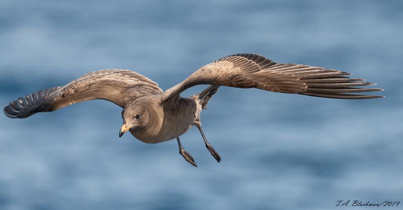 Herrmann's Gull