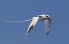 Tropicbird_White-tailed TAB11MK4-18641