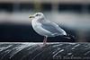 Gull_Herring TAB11MK4-6420
