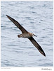 Albatross_Black-footed TAB10MK4-30560-2