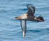 Pink-footed Shearwater<br /> Puffinus creatopus