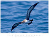 Shearwater_Pink-footed TAB09MK3-13035