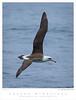 Albatross_Laysan TAB08MK3-07946