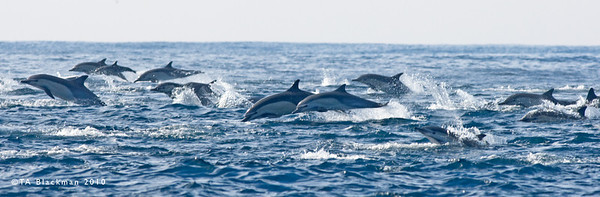 Dolphin_Common Herd TAB10MK3-01124