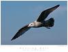 Gull_Herring TAB10MK4-36112