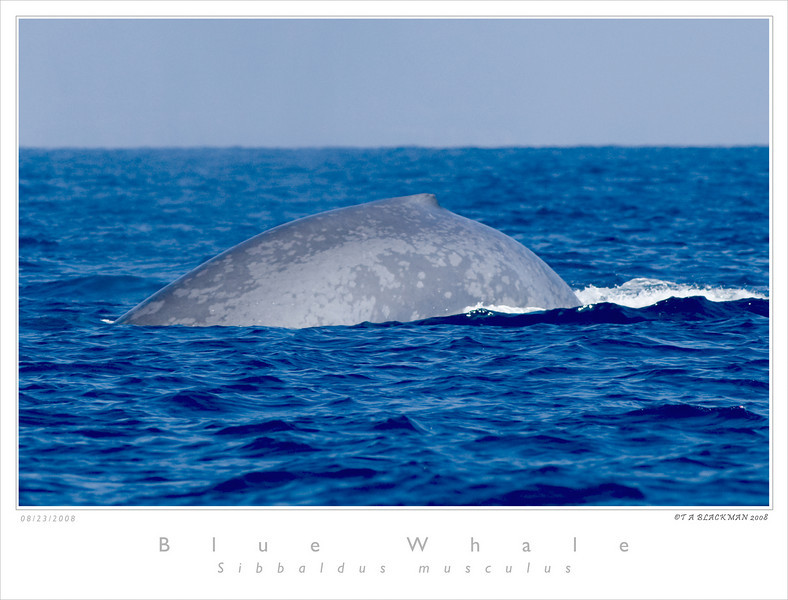 Whale_Blue TAB08MK3-11711