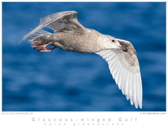 Gull_Glaucous-winged TAB10MK4-02769