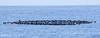 Black Storm-Petrel raft off 30 mile bank (182)