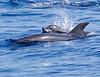 Dolphin_Bottlenose TAB11MK4-18162