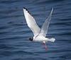 Bonaparte's Gull<br /> Chroicoephalus philadelphia