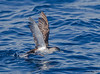 Black-vented Shearwater<br /> Puffinus opisthomelas