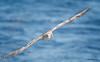 Northern Fulmar<br /> Fulmarus glacialis