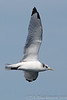 Kittiwake_Black-legged TAB11MK4-6172