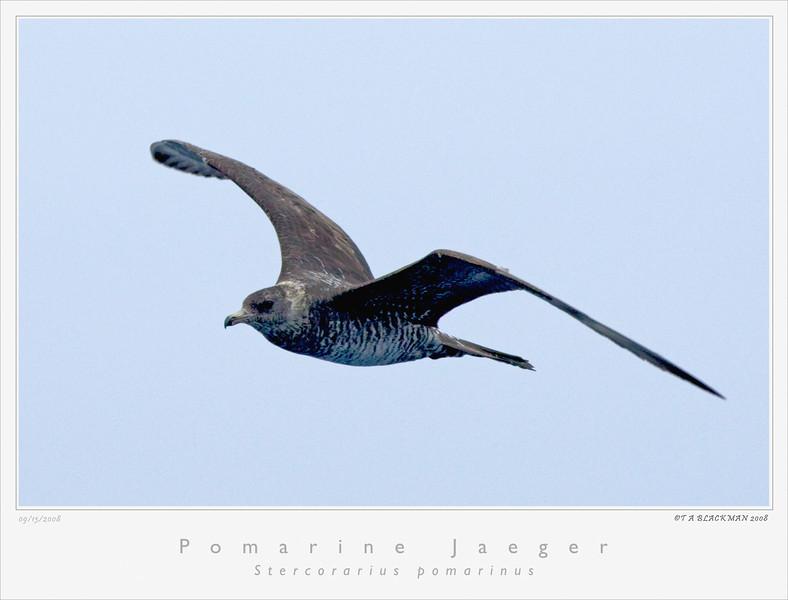 Jaeger_Pomarine TAB08MK3-12408