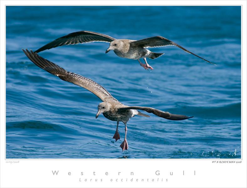 Gull_Western TAB08MK3-13437