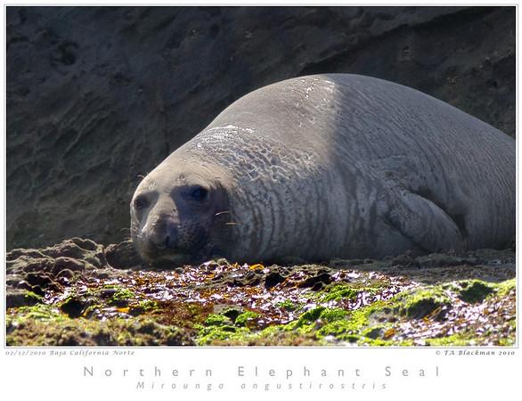 Seal_Northern_Elephant TAB10MK4-4687