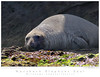 Seal_Northern_Elephant TAB10MK4-4687