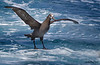 Black-footed Albatross<br /> Black-footed Albatross<br /> Phoebastria nigripes