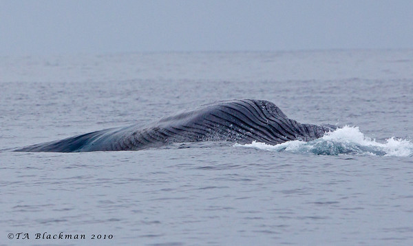 Blue Whale feeding off Point Loma