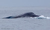 Blue Whale feeding off Point Loma