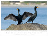 Cormorant_Double-crested TAB08MK3-03376