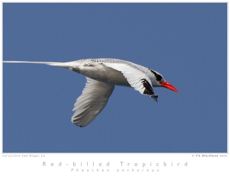 Tropicbird_Red-billed TAB10MK4-4878
